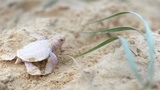 Rare albino turtle found on Australia...