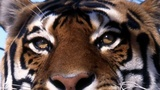 Female tiger dies in a mating attempt...