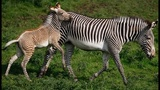 Zebra stripes could save endangered...