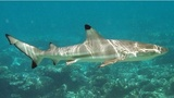 Thousands of sharks teem off Florida...