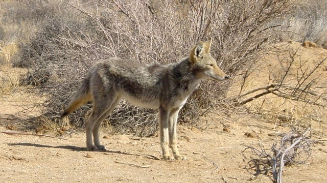 Cops Warn of Infected 'Zombie' Coyotes Confused for Dogs in IL