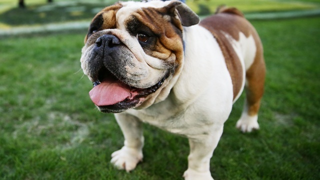 Dog Breeds - Bulldogs_1835754407062016