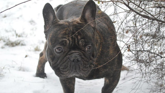 French bulldog_3383484461115629