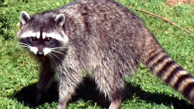 Police called in to save stuck raccoon