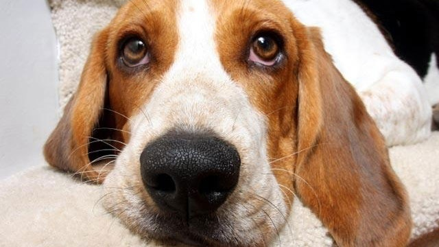 beagle, dog, closeup_1834373001106655