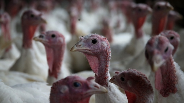 According to the USDA 244 million turkeys are expected to be raised in the United States in 2016