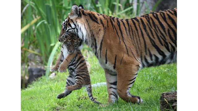tiger and cub at zoo87285011