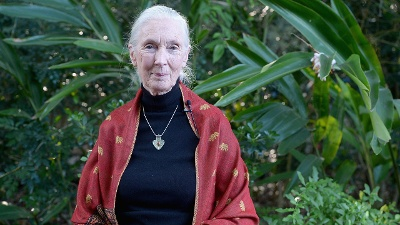 to save chimps jane goodall essay