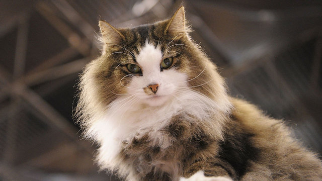 Pet names 2016 - norwegian forest cat02829651