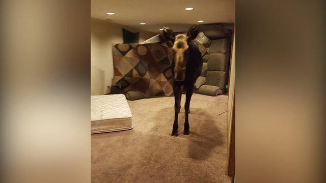 Moose falls into family's basement