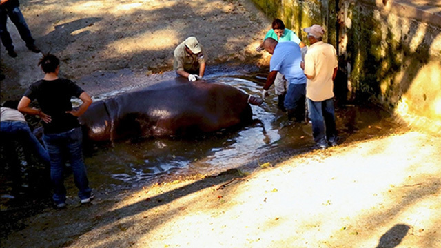Outrage after Beloved Hippo is Battered to Death in El Salvador Zoo