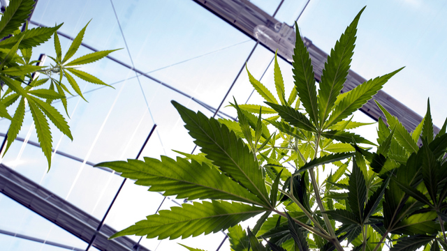 Senators ask feds not to clamp down on state marijuana laws