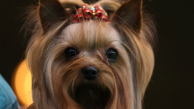 dog breeds - Yorkshire terrier24002109