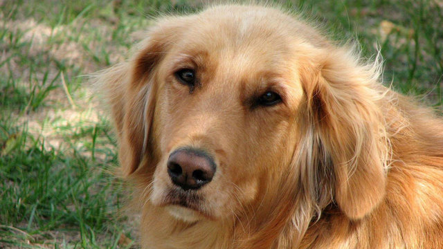 dog breeds - golden retriever56079892