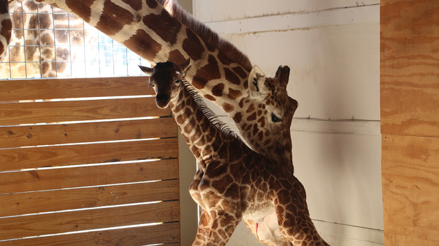 April The Giraffe Baby Name
