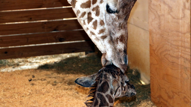 April the Giraffe's baby to be announced on GMA