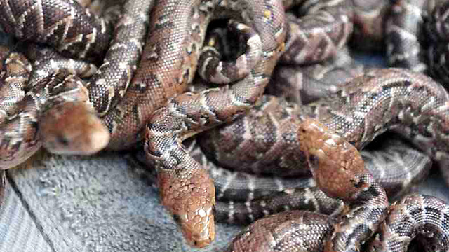 Snakes hunt in packs, study finds