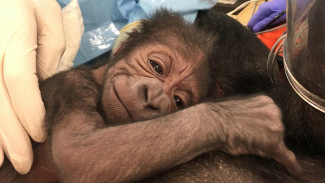 Zoo welcomes baby gorilla after emergency delivery