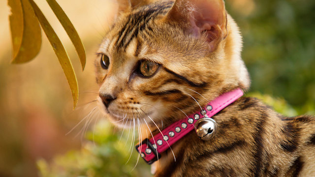 cat wearing collar and bell50289737