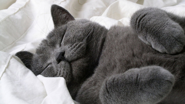 sleeping grey cat77750534