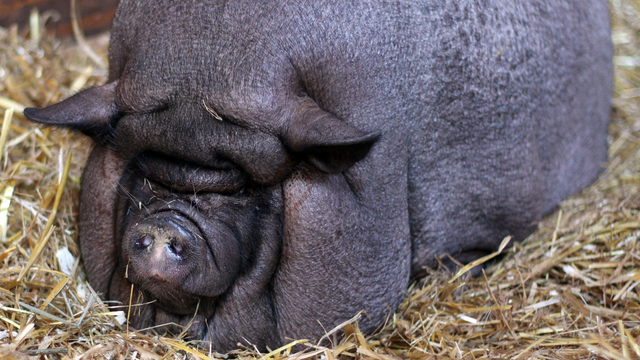 Rescued pig on road to recovery