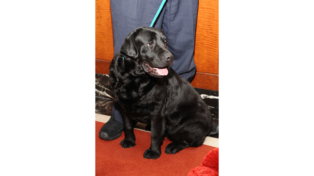 Black Labrador Retriever, Carmen, AKC Most Popular Breeds 201305564684