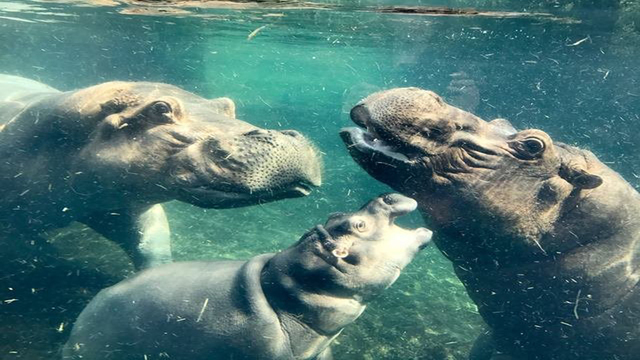 Henry the hippo, dad of baby Fiona, dies after battling illness