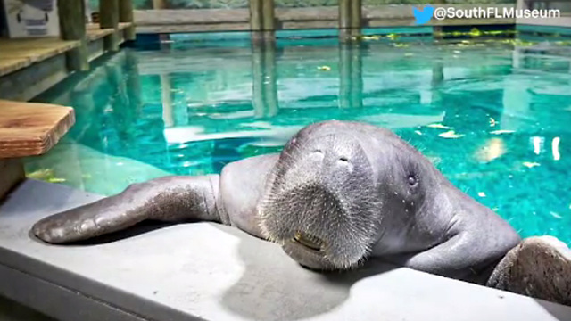 A Confederate monument may be replaced by a statue of a manatee