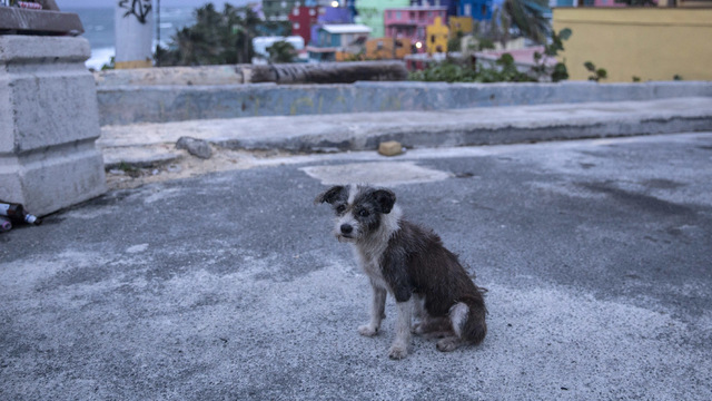 Stray dog Puerto Rico Hurricane Maria26745556