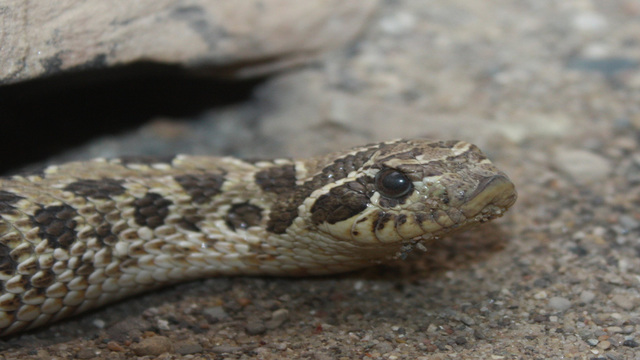 Man tries to smuggle snakes inside socks over Canadian border