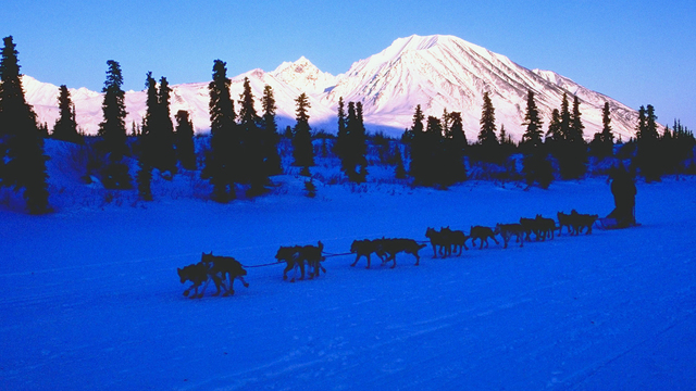 Dogs in Iditarod race test positive for drugs