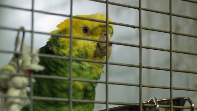 Polly want help? Parrot, not person, draws cops