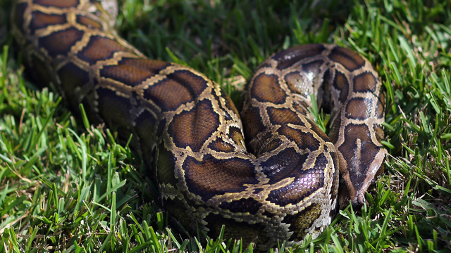 Police: Detained man found to have snake in his pants