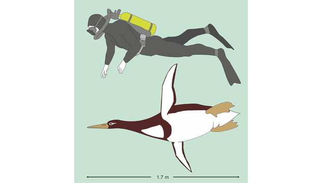 Extinct 60 Million-Year-Old Penguin Was The Size Of A Human