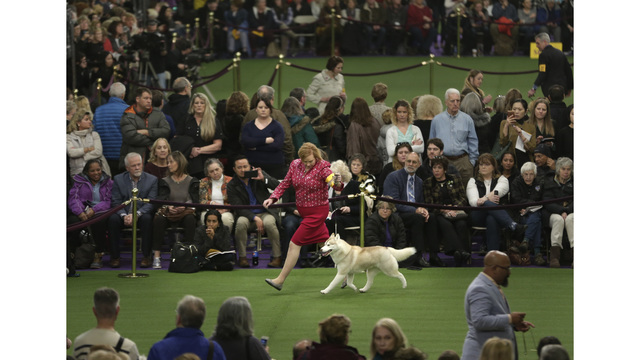 The Latest:  Bichon frise wins best in show at Westminster