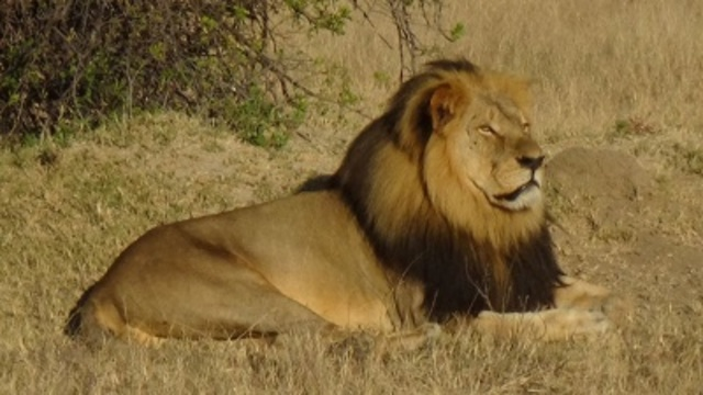 Cecil the lion suffered for hours before his death, researcher claims