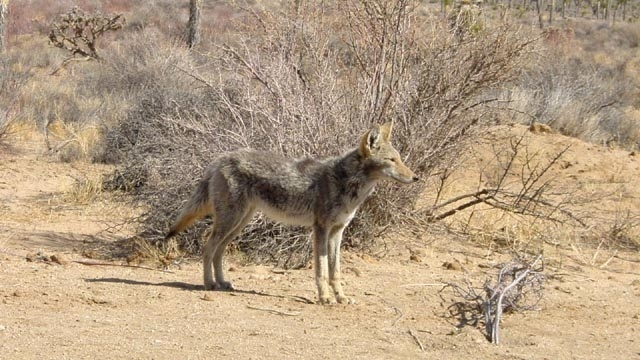 Suburban NY police: Watch out for the 'coywolf'