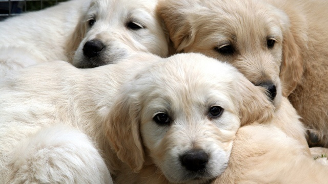 Puppies from national pet store chain sicken 39 people, CDC says