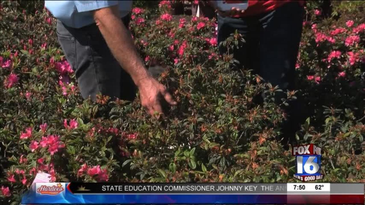 The Good Earth Garden Center: Keeping Azaleas Healthy