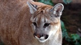 Indiana DNR probes report that mountain lion killed pet cat