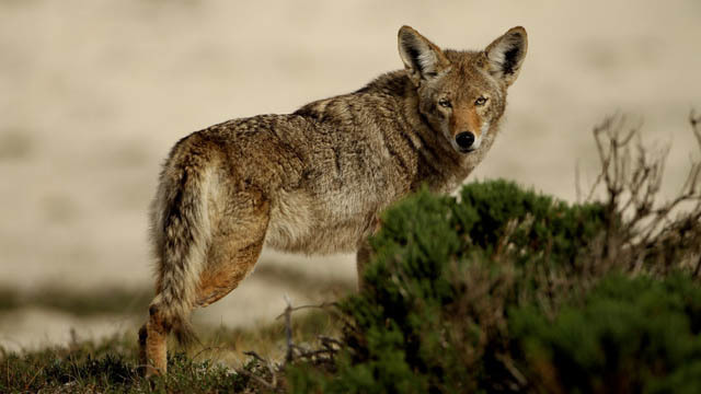Bartlett Leaders Warn About Coyote Sightings In The City