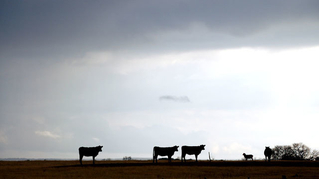 61 branded steers missing from Smith County