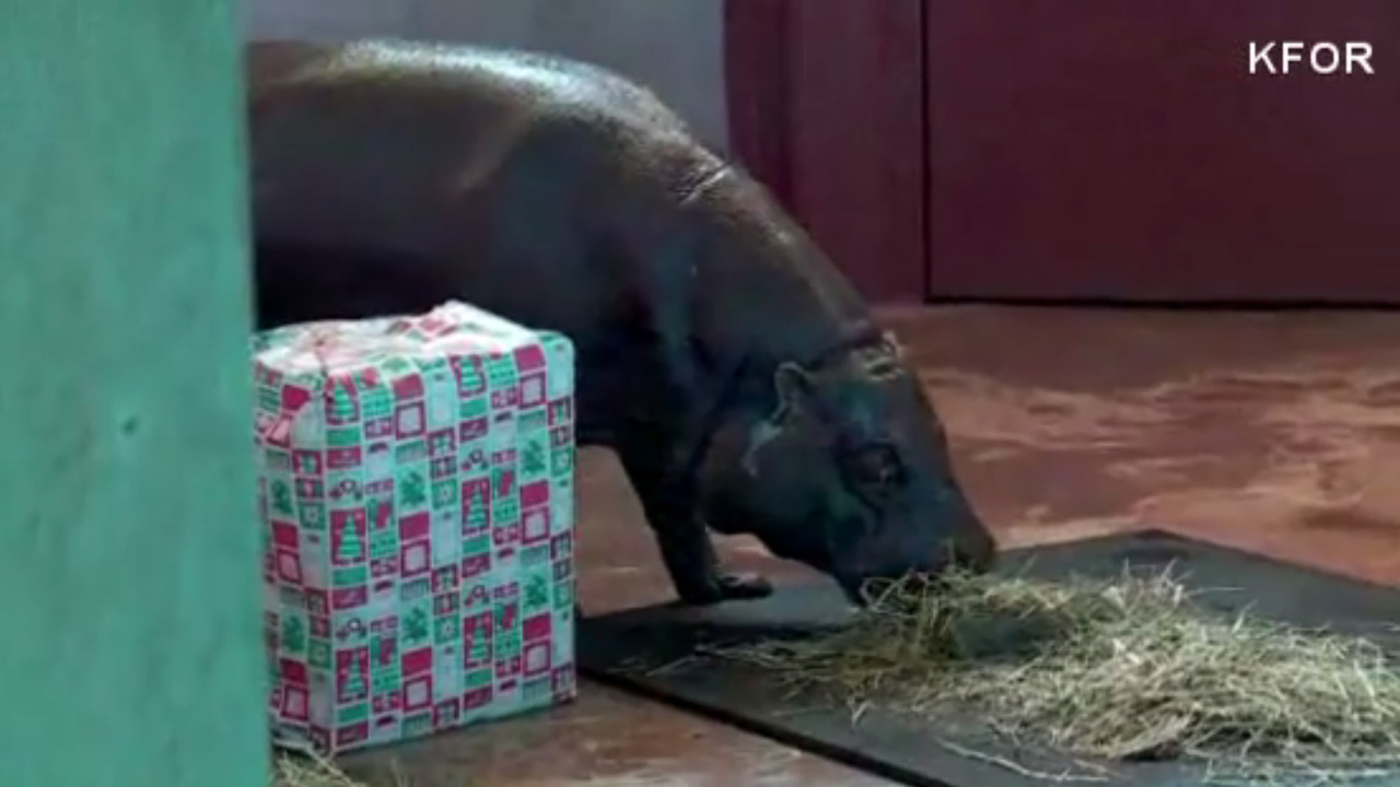 zoo gets hippopotamus for christmas - All I Want For Christmas Is A Hippopotamus Ringtone