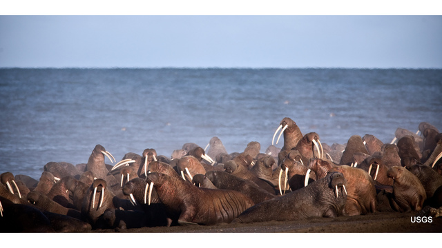 Lawsuit filed after US fails to list walruses as threatened