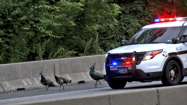 2 of 4 peacocks that escaped from zoo found safe