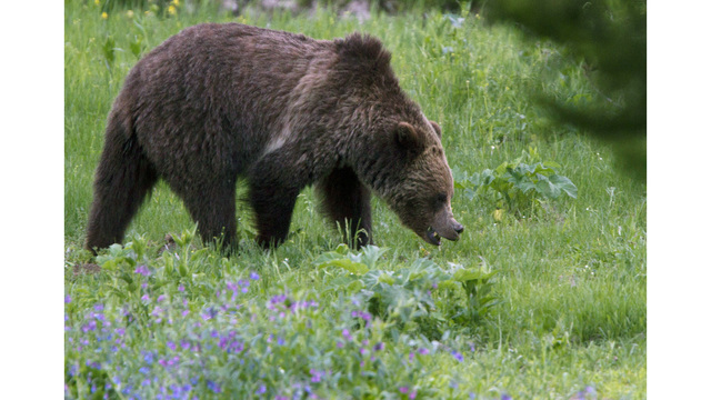 Grizzly Attack Survivor To Have 2nd Surgery