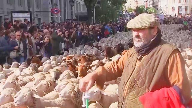 Thousands of Sheep Parade Through Streets of Spain as They Migrate South for Winter