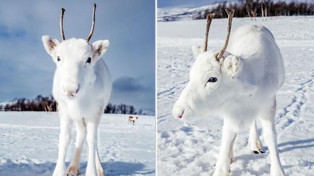 Rare White Reindeer Calf Discovered by Hiker in Norway