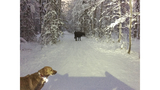Rodeo Alaska cow evades capture wandering Anchorage trails